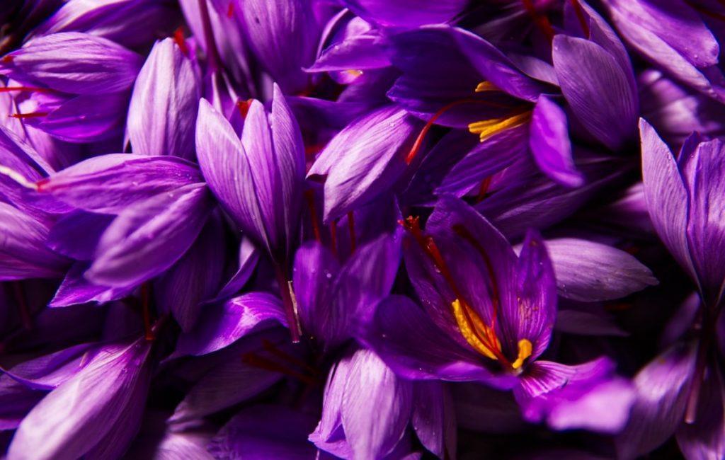 manfaat saffron 1